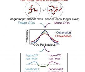 Dra. Aurora Ruiz: Per-Nucleus Crossover Covariation and Implications for Evolution