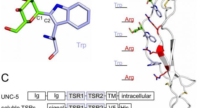 Dr. Salvador Ventura (C-mannosylation supports folding and enhances stability of thrombospondin repeats)